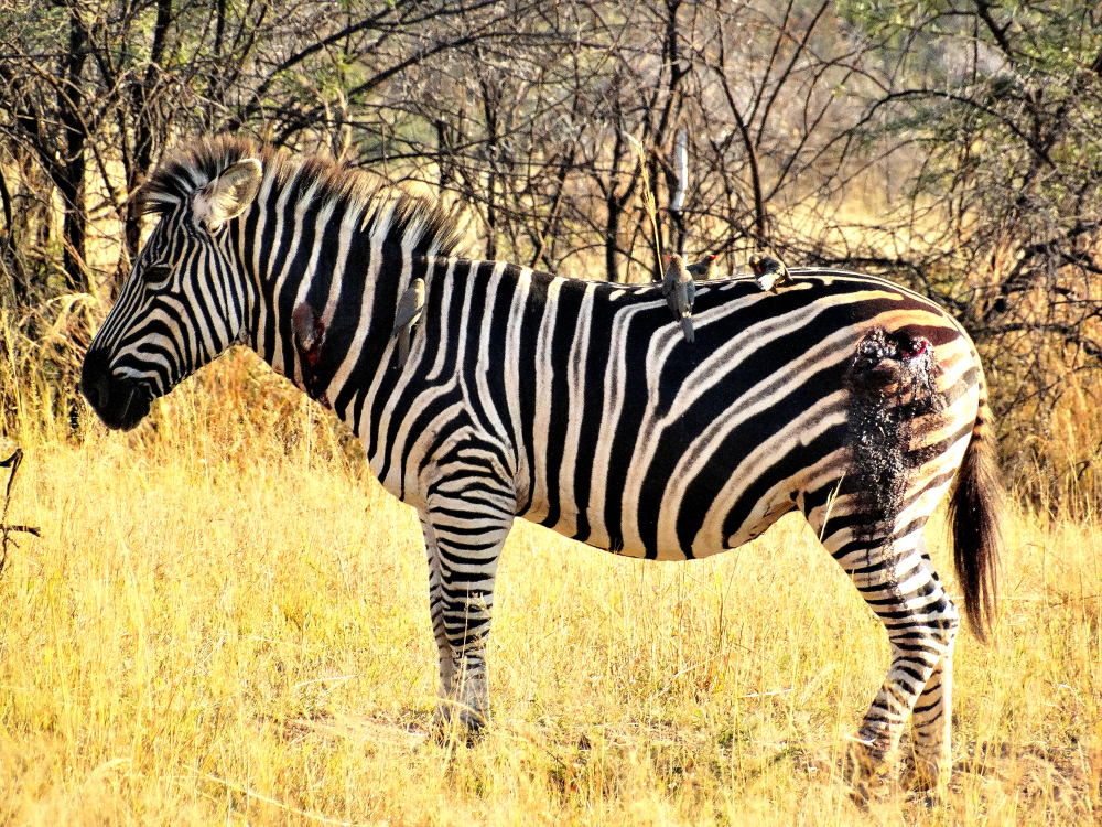 A Zebra with serious wounds which we assume was from a lion attack